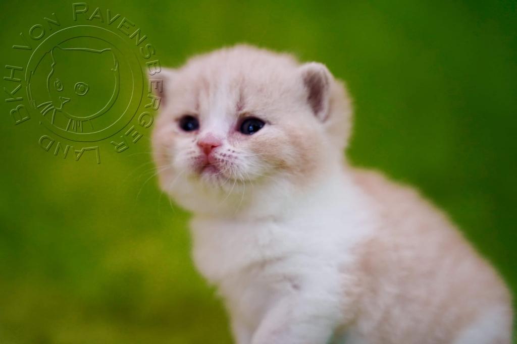 Bkh Kitten 25.03.21 geboren